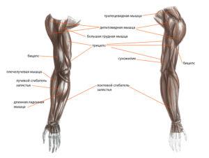 Анатомический атлас мышц рук