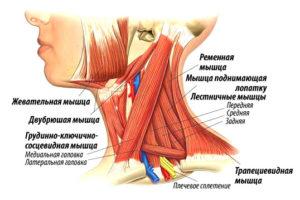 Анатомиямышц шеи
