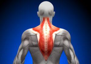 Трапециевидная мышца. Строение и функции